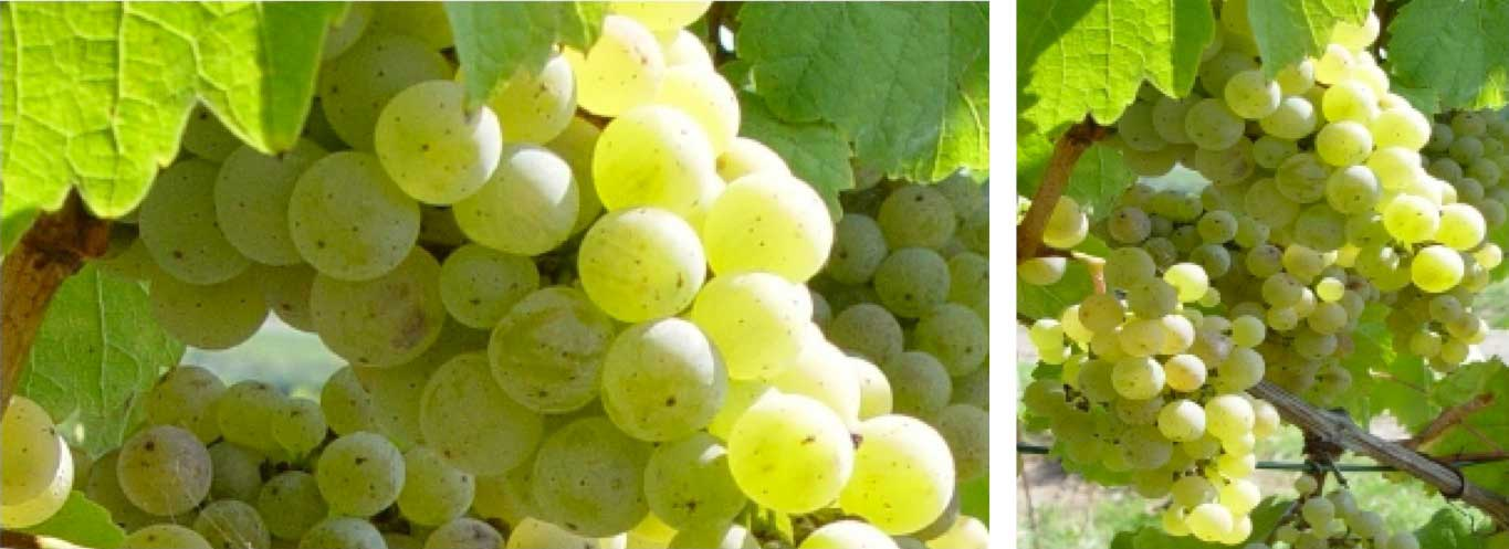 Greengold-Riesling