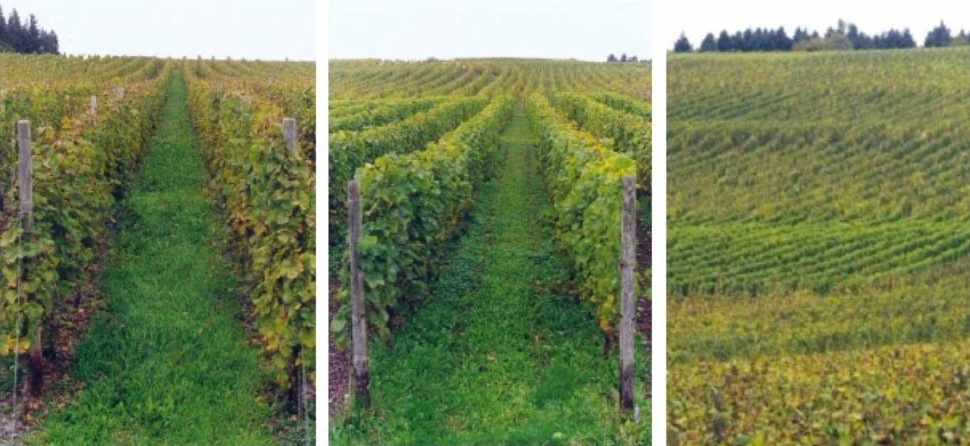 Greengold-Weinbau